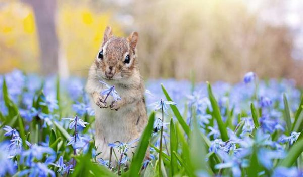 Tips Which Help You How to Get Rid of Chipmunks